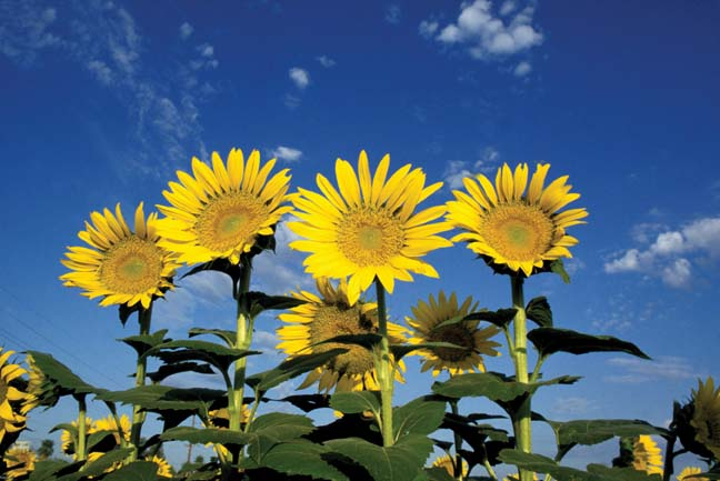 http://nsf.gov/bio/pubs/reports/npgi2006/images/sunflower_big.jpg