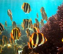 Butterflyfish and corals under water