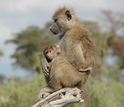 Juvenile male baboon holding his young infant brother.