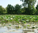 Wetland with water lillies