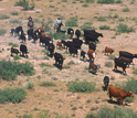 Livestock grazing  and cowboys