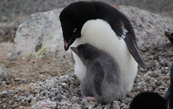 close up image of an Ad�lie penguin with chick