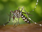 One Zika-carrying mosquito, Aedes albopictus, the Asian tiger mosquito, ranges farther north.