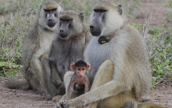 Kenyan baboons will be at the center of research studying mammalian gut microbiomes.