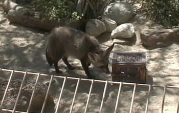 A bat-eared fox tries to open a puzzle box during an experiment to test intelligence.