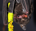 A short-tailed fruit bat, Carollia perspicillata, feeding on fruit