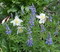 columbines and lupines flowers in bloom