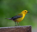 Prothonotary warblers may migrate over distances as great as 5,000 miles or more.