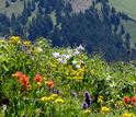 Colorado Rocky Mountain meadow with wildflowers in bloom