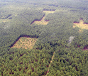 Aerial view of a conservation corridor experiment with four patches of habitat in a pine forest.