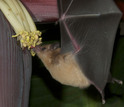A nectar bat, Glossophaga soricina, feeding on the flowers of a banana plant.