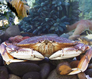 Dungeness crab fisheries on the U.S. West Coast are closed when domoic acid is in the water.