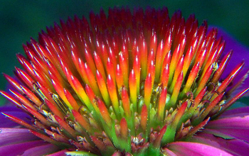 A closeup of Echinacea flower's spiny central disk