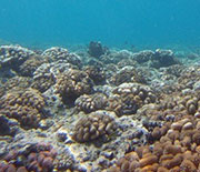 To test for El Niño effects on coral recruitment, the scientists deployed 250 settlement tiles.