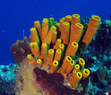 Photo of different species of sponges on a coral reef in the Bahamas.