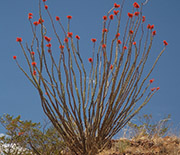 Ocotillo is drought deciduous. After rare desert rains, the plant grows leaves within 24 hours.
