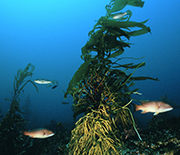 Lone giant kelp plant surrounded by California Sheephead (Semicossyphus pulcher) fish.