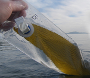 Hand pulling bag with giant kelp sample from the water.