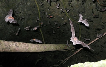 Each evening, thousands of bats rush out of caves in the Caribbean, here seen in Puerto Rico.