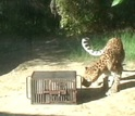 A leopard looking at a box