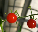 a wild tomato species with red fruits.