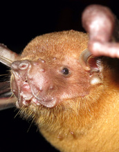 The greater bulldog bat, or fishing bat, listens for echoes over the water to detect its fish prey.