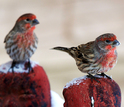 close up of two male house finches