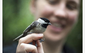Chickadee sitting on a person's finger