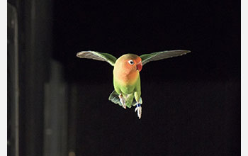 Lovebird during flight training in wind tunnel