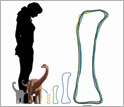 silhouette of a woman, Rapetosaurus at hatching and a neonate, with its femur at different ages