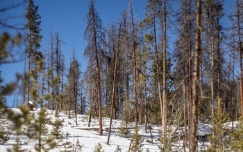 Lodgepole pines are regrowing among trees killed by beetles