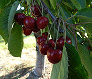 Ripe sweet cherries in an orchard with kestrel nest boxes installed.