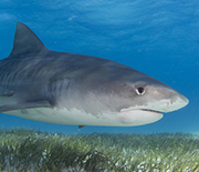 A tiger shark swimming above seagrasses.