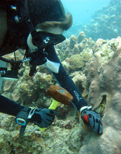 Researcher collecting coral samples