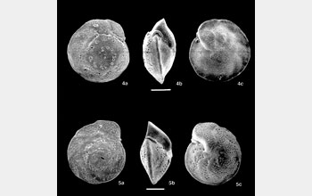 Photomicrographs of foraminifera.
