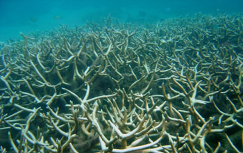 Photo of bleached Acropora coral.