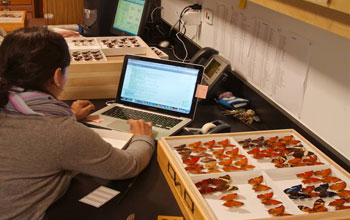 Researcher entering data for the butterflies and moths at the Florida Museum of Natural History.