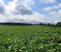 a field of soybean.