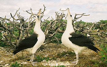 Photo of 2 albatrosses