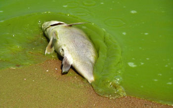 A dead fish suffocated by algae washed ashore near Lake Erie, Ontario