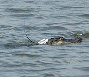 Alligator with GPS transmitter