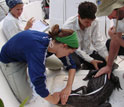 Photo of scientists measuring  the length of an alligator.