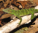 A green lizard in the Atlantic forests