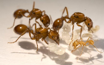 Photo of three California seed-harvester ant queens along with brood and a young worker ant.