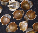 "Photo of ""sea butterfly"" or pteropod shells."