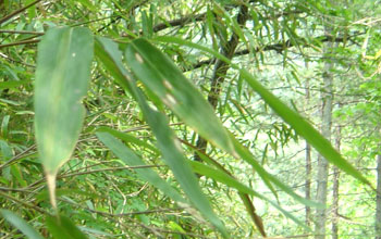 closeup of bamboo leaves
