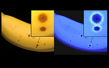 Image of a ripe banana that is yellow with brown spots in visible light, but glows blue in UV.