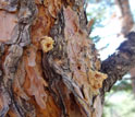 Close-up of a pine with open areas in the bark created by beetle burrowing