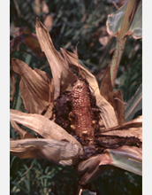 Photo of corn damaged by insects.