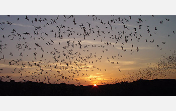 Photo of bats emerging from their roost.